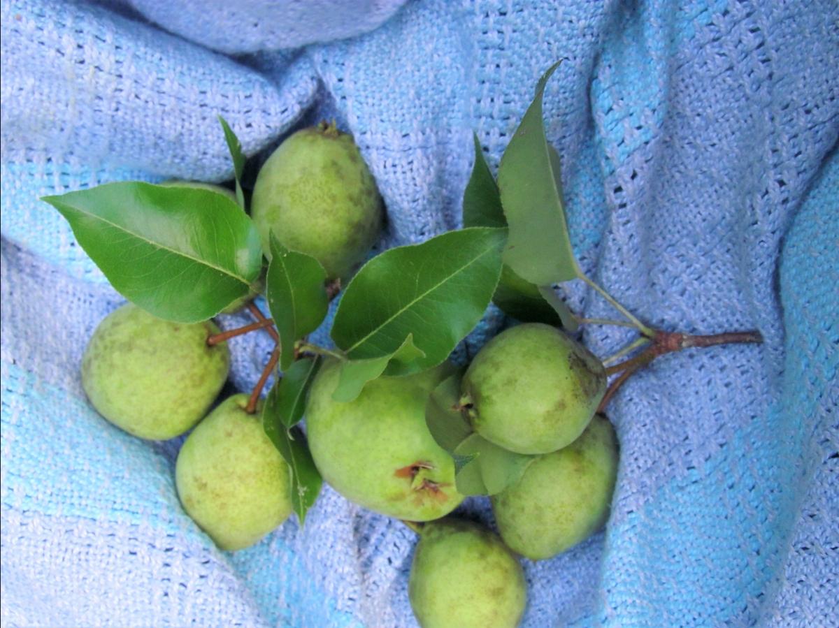 Pear Harvest Photos